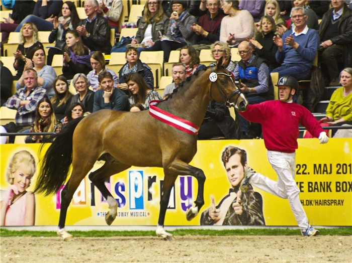 Kampioenshengst Hesselhoij Donkey Boy exclusief via Triple V Dekdiensten beschikbaar!